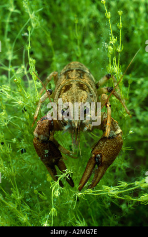 White clawed crayfish, Austropotamobius pallipes - Stock Photo