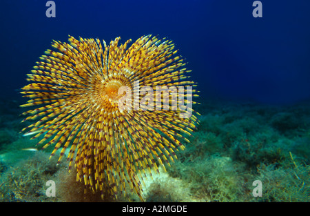 Fan worm on the seafloor, Spirographis spallanzani - Stock Photo