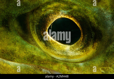 eye of Brown trout Salmo trutta fario - Stock Photo