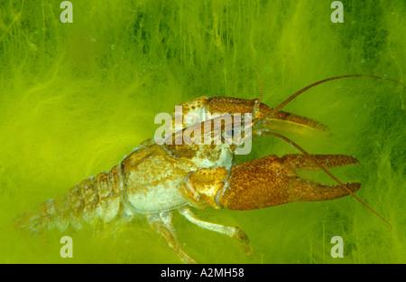 White clawed crayfish Austropotamobius pallipes - Stock Photo