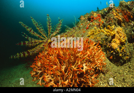 reef with orange bryozoans and featherstar, Pentapora fascialis - Stock Photo