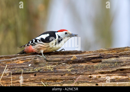 Close-up of Middle Spotted Woodpecker (Picoides medius) bird perching on tree trunk - Stock Photo