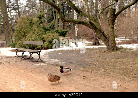 Ducks walking across the path in Lazienkowski Park Warsaw Poland - Stock Photo