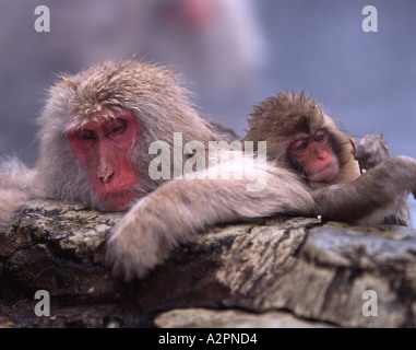 Japanese Snow Monkeys ( Macaque Fuscata ) Baby inspects stick while parent soaks in hot spring pool - Stock Photo