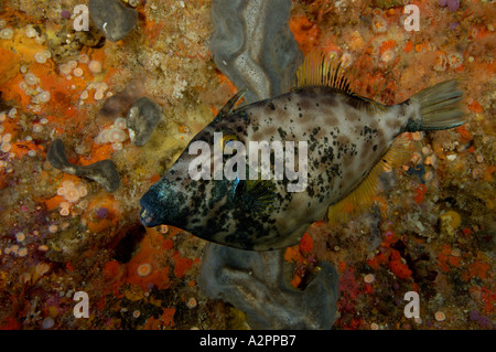 Leatherjacket female Parika scaber Barren Arch Poor Knights New Zealand - Stock Photo