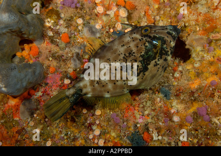 Leatherjacket female Parika scaber biting on to reef Barren Arch Poor Knights New Zealand - Stock Photo