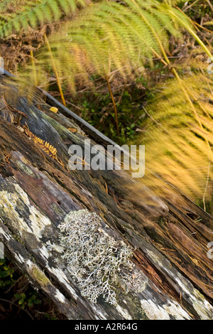 Lichen on a fallen tree surrounded by autumn coloured ferns blowing in the wind Loch Tulla Scotland - Stock Photo