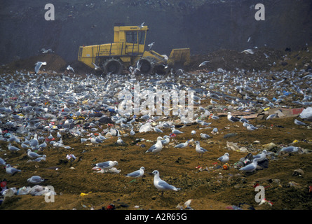 mixed gull species but mainly black headed at rubbish dump - Stock Photo