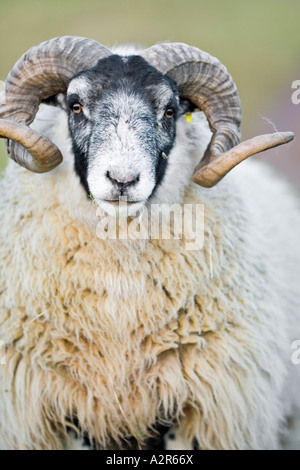 Ram of the Swaledale breed of sheep commonly found in upland areas of northern Britain - Stock Photo