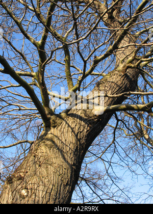 The trunk of sweet chestnut tree (Castanea sativa) in winter, Scotland - Stock Photo