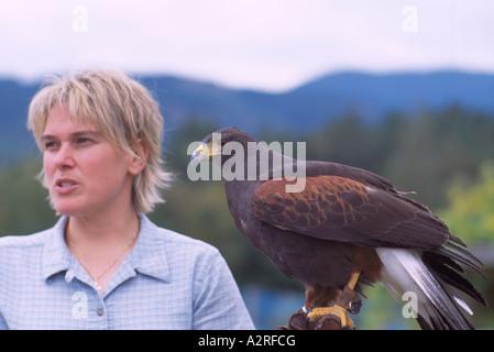 Falconer training Harris Hawk (Parabuteo unicinctus) in Falconry, Mature Captive Bird, Birds in Captivity - Stock Photo