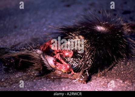 Carcass of North American Porcupine (Erethizon dorsatum) killed by a Vehicle on a Highway - Stock Photo