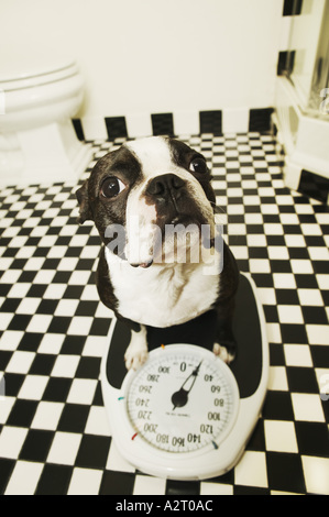 A dog on a bathroom scale - Stock Photo