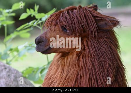 alpaca (Lama pacos), portrait - Stock Photo
