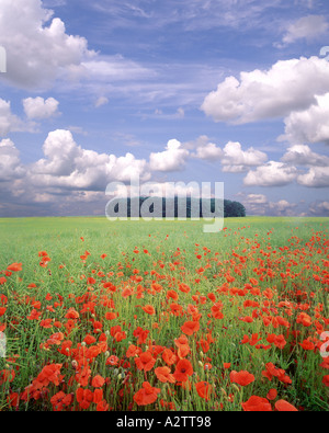 GB - GLOUCESTERSHIRE: Poppyfield in the Cotswolds - Stock Photo