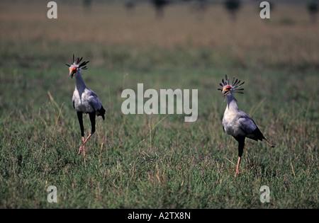 Two Secretary birds Sagittarius serpentarius hunting Masai Mara Kenya - Stock Photo