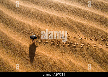 Desert beetle Family Tenebrionid Live and feed in sand dunes throughout North Africa and Namib Desert Morocco - Stock Photo