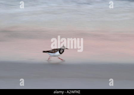 Sandpiper running along at edge of water on beach in Florida - Stock Photo
