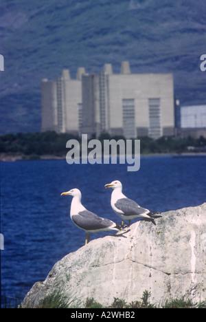 Lesser Black Backed Gulls Trawsfynydd Nuclear Power Station Snowdonia North West Wales - Stock Photo