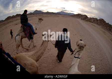 Tourists on a Bedouin camel ride near Sharm El Sheikh Egypt - Stock Photo