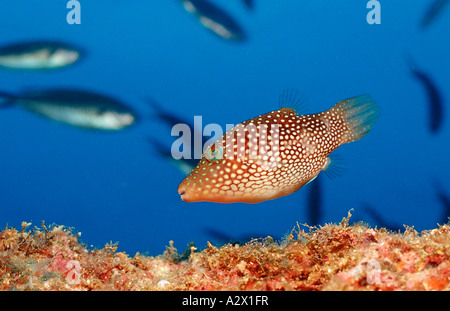 Spotted Sharpnose Puffer Canthigaster punctatissima Mexico Sea of Cortez Baja California La Paz Stock Photo