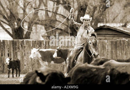 Black & white view of cowboy on horseback lassoing a cow during spring branding on the Everett Ranch near Salida, - Stock Photo