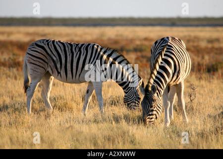 Zebra in dawn light at Etosha National Park Namibia Africa - Stock Photo