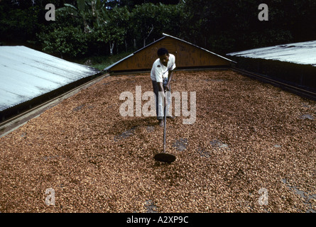 Underpaid workers on a cocoa plantation rakes out cocoa seeds to dry in the sun, Bahia province, Brazil - Stock Photo