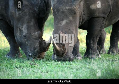 rhino black white Hluhluwe-Imfolozi National Park South Africa - Stock Photo