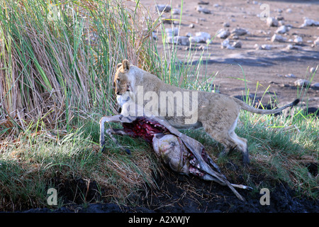 Lion Lioness with kill Etosha Namibia Africa - Stock Photo