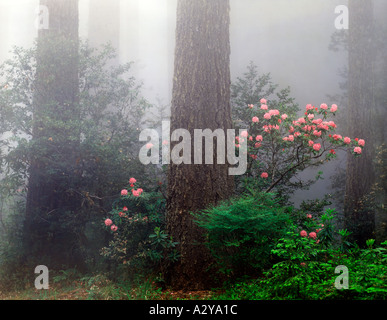 Redwood National Park in California where wild rhododendrons bloom in the foggy damp climate under the huge trees