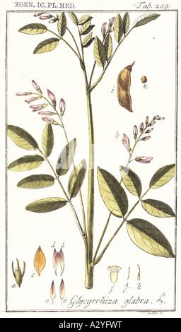 Glycyrrhiza glabra liquorice - Stock Photo