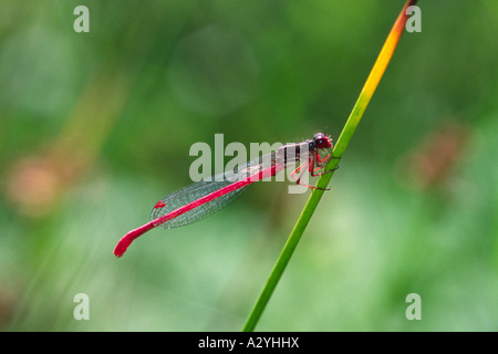 Male Small Red Damselfly (Ceriagrion tenellum) perched on a rush. Ynys Hir RSPB Reserve. Ceredigion, Wales, UK. - Stock Photo
