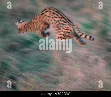 Serval cat jumping to catch prey in Masai Mara National Reserve Kenya - Stock Photo