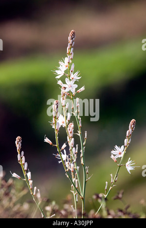Common Asphodel (Asphodelus aestivus) growing in Spain - Stock Photo