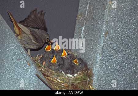 black redstar - feeding squabs / Phoenicurus ochruros - Stock Photo