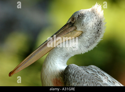Brown Pelican side view close up - Stock Photo