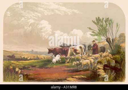 Drover With Cows Sheep - Stock Photo