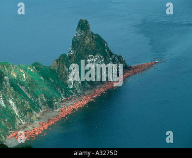 Walrus bulls haul out along the beach at Round Island Alaska - Stock Photo