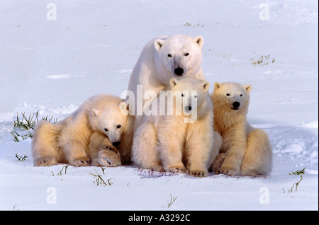 Polar Bear mother and triplet cubs Cape Churchill Manitoba Canada - Stock Photo