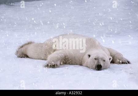 Polar bear sleeping in the snow Cape Churchill Manitoba Canada - Stock Photo