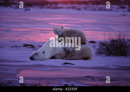 Polar bear mother with two cubs Cape Churchill Manitoba Canada - Stock Photo