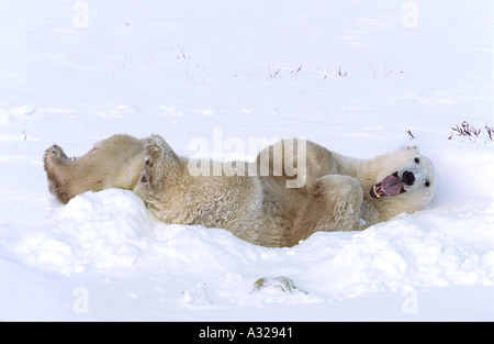 Polar bear yawning Cape Churchill Manitoba Canada - Stock Photo