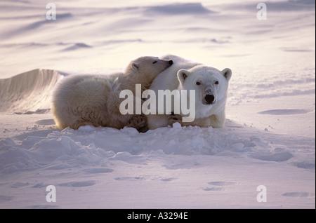 Polar bear mother and cub Cape Churchill Manitoba Canada - Stock Photo