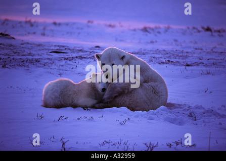 Polar bear mother and cub at sunset Cape Churchill Manitoba Canada