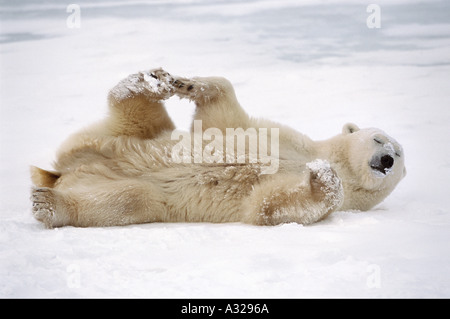 Polar bear Cape Churchill Manitoba Canada - Stock Photo