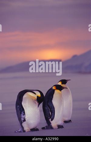 Emperor penguins Weddell Sea Antarctica - Stock Photo