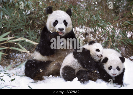 Panda mother and twin cubs in the snow Sichuan China - Stock Photo