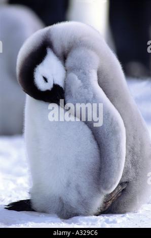 Emperor Penguin chick Auster rookery Antarctica - Stock Photo
