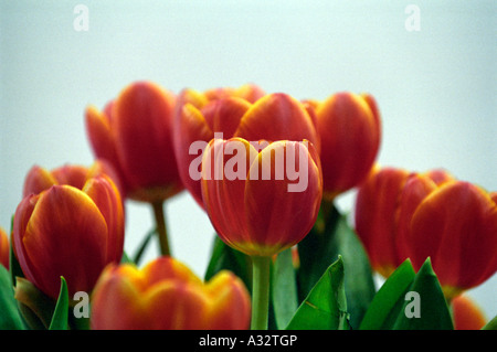 Tulips on a bright background - Stock Photo